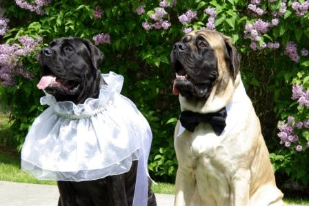 Mastiff wearing Designer Duds Dog  Dress
